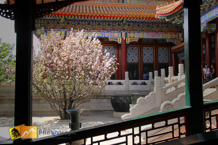 Blossom tree at the temple of heaven