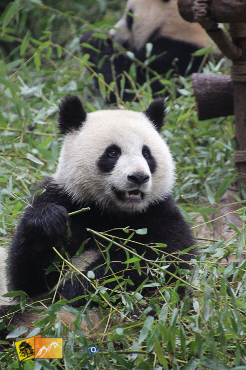 great panda of china sitting up