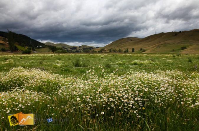 Wild flower field in Hawkes bay.