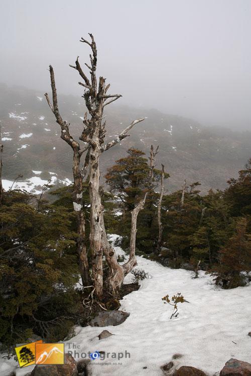 Dead tree in the mist.