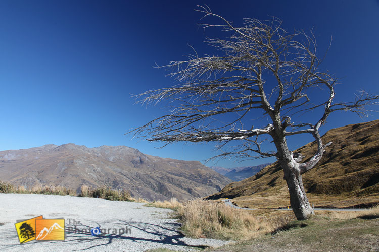Wind blown tree on the road to Queenstown.