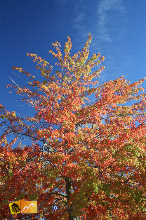 Autumn tree against blue skies.