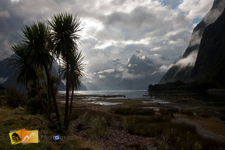 Cabbage trees at Milford Sounds.
